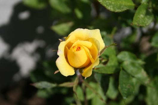 Gul rose.