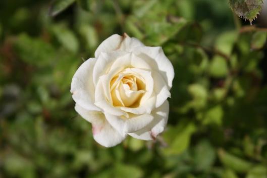 Hvid rose.