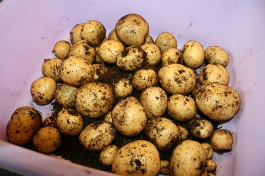 Nye kartofler af egen avl.