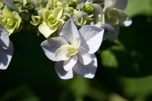 Isblå klatre Hortensia.