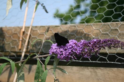 En af de mange sommerfugle.