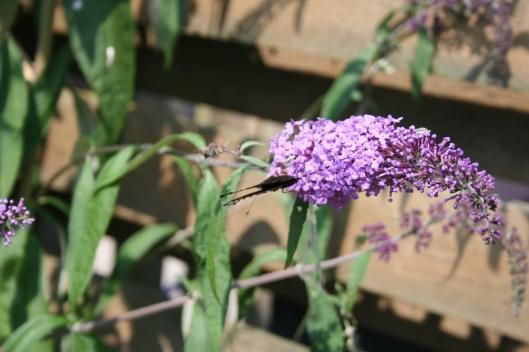 Endnu en af de mange sommerfugle.