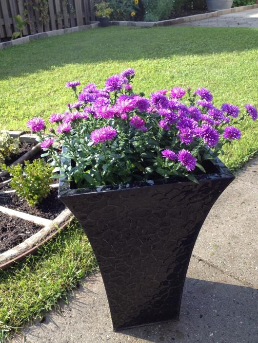 Efterårs asters.....tror jeg nok de hedder og de er super smukke i farven.