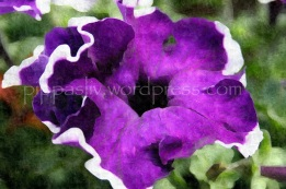 wordpress petunia