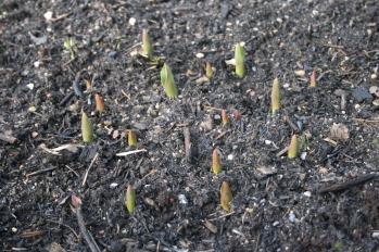 Forår 2015. Tulipaner.