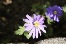 Blå anemoner.