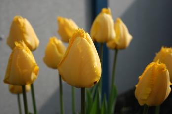 Tulipaner 2015