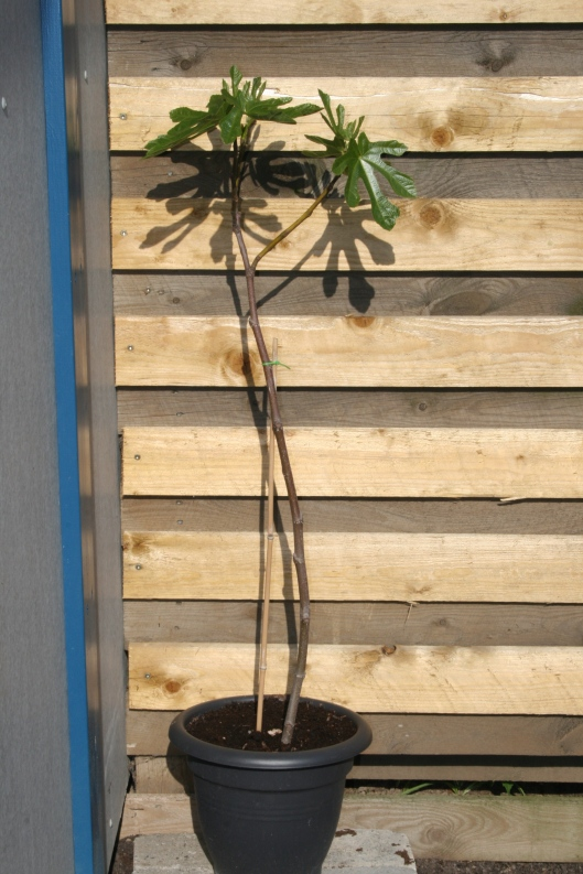 Figen træ.