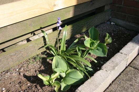 Hosta og blå klokkeblomst af en afart.