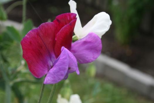 Nogen af ærteblomsterne fra haven....der er et utal af farver og ikke 2 buketter er ens.