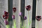 Mine tulipaner - 2016