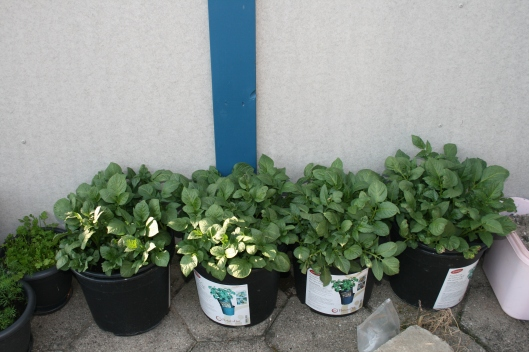 Kartoflerne vokser som ukrudt og det skal nok blive godt.