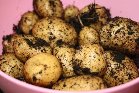 Nye kartofler.