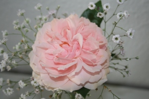 Skøn rose fra min have.....den har den mest fantastiske duft man kan tænke sig.